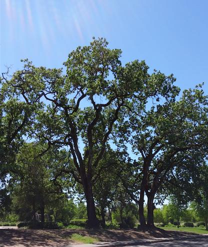Oak on Village Green