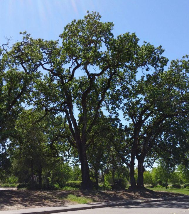 Oaks in Park