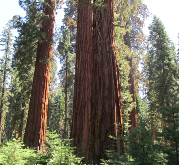 Redwoods in NP